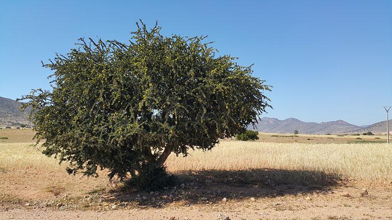モロッカンアルガンの木